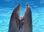«Знаешь, дельфины говорят…» Дельфин – друг человека.