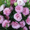 Эустома лизиантус  цветы от производителя