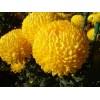 Хризантема оптом и в розницу от производителя
