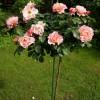 Отборные сортовые пионы,  розы,  тюльпаны,  гортензии,  кле