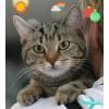 Шикарный кельтский котенок