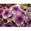 Сортовые флоксы для вас и вашего сада