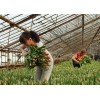 Разнорабочие на высадку тюльпанов