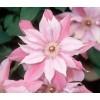 Cортовые розы,  пионы,  тюльпаны,  гортензии,  клематисы и